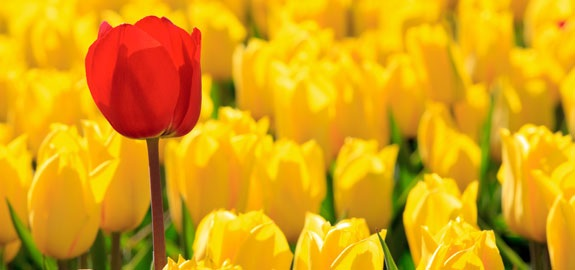 stand out red rose among yellow