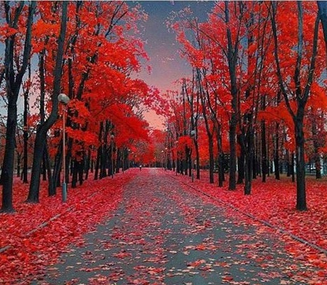 red maples trees